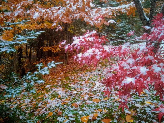 snow on colored tree leaves